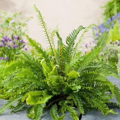 Цветок папоротник уход в домашних условиях: родина и выращивание, видео и фото