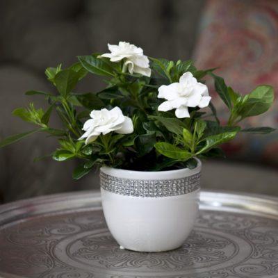 Цветок гардения в цвету: уход в домашних условиях