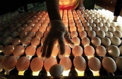 Яйца дикой утки инкубация яиц