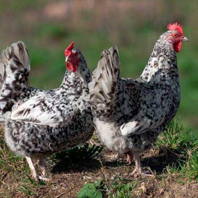 Мясо-яичные куры описание кур мясо-яичного направления