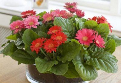 Цветы герберы: посадка и уход в домашних условиях, пересадка после покупки, а также какой грунт нужен
