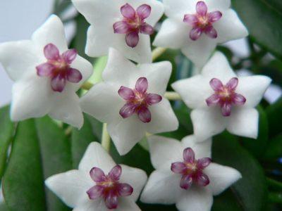 Почему не цветет хойя в домашних условиях, как заставить- Ядовита или нет, почему желтеют листья, родина растения