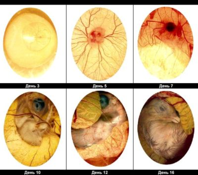 Советы профессионалов о проведение инкубации страусиных яиц в домашних условиях