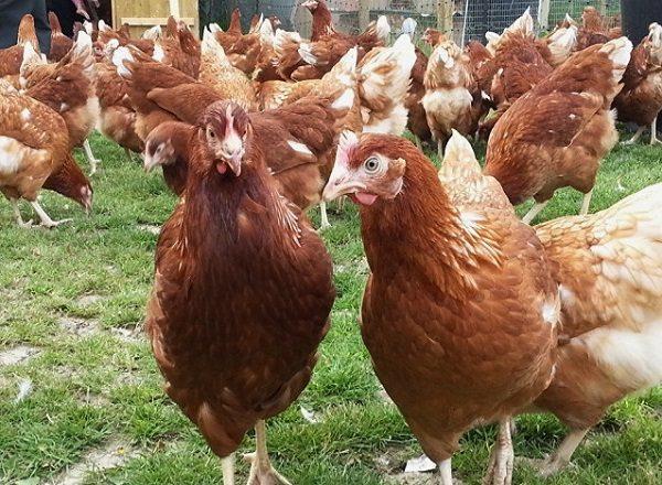Как выращивать курей на мясо в домашних условиях?