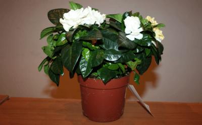Гардения- уход в домашних условиях после покупки, пересадка цветка