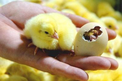 Куриное яйцо в инкубаторе сколько дней