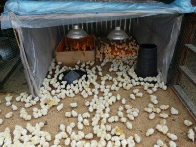 Разведение кур в домашних условиях для начинающих, о несушках