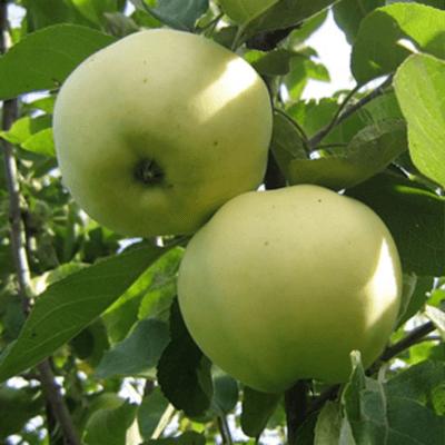 Летние, осенние, зимние сорта яблонь для средней полосы России с фото и описанием