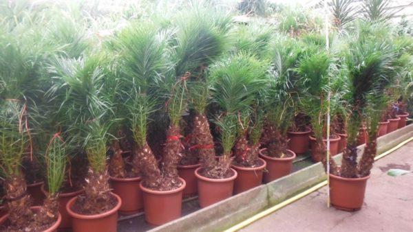 Финиковая пальма. Как вырастить дерево из косточки
