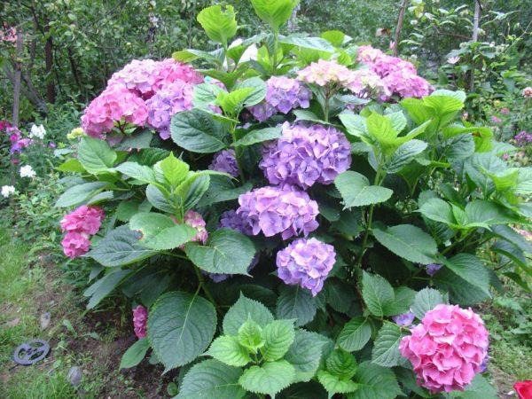 Не цветет садовая гортензия что делать
