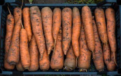 Как подготовить морковь к хранению на зиму: что делать после уборки, как ее обрезать, сушить и дезинфицировать?