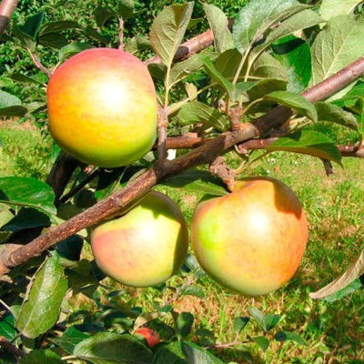 Лучший зимний сорт яблок: посадка и уход