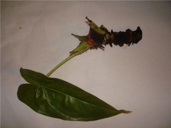 Новый цветок антуриум можно вырастить из семян