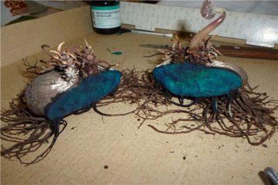 Как размножить цикламен в домашних условиях