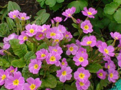 Весенняя примула – первый цветок на клумбе