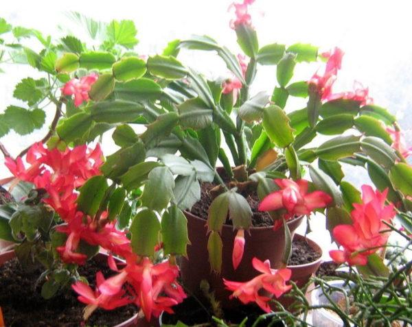 Цветок похожий на декабриста но крупнее — cvetokvgorshke