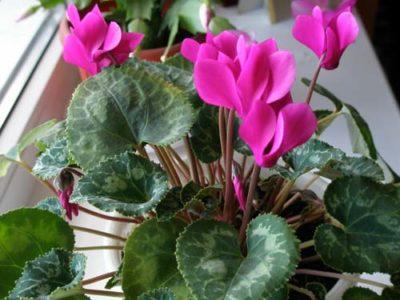 Додекатеон - Комнатные, садовые растения