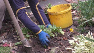 Когда пересаживать примулу садовую