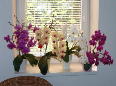 На цветоносе орхидеи появились липкие капли