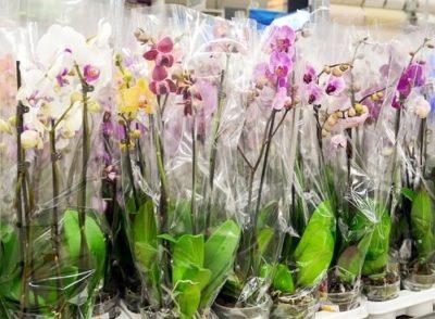 Как выбрать орхидею Что нужно знать при покупке орхидеи в горшке в магазине Самые неприхотливые виды