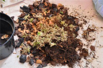Пересадка орхидеи фаленопсис в домашних условиях (пошагово) и можно ли пересадить цветущую орхидею в новый горшок