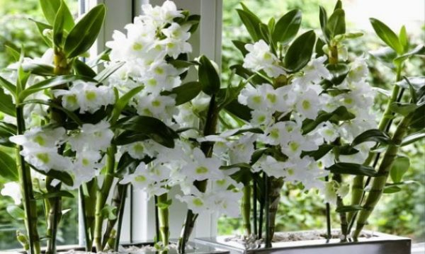 Dendrobiumy_2_11182547-600x359.jpg
