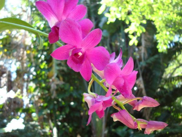 Dendrobiumy_3_11182636-600x450.jpg