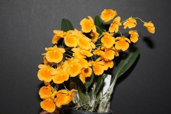 Dendrobiumy_4_11182705-600x400.jpg