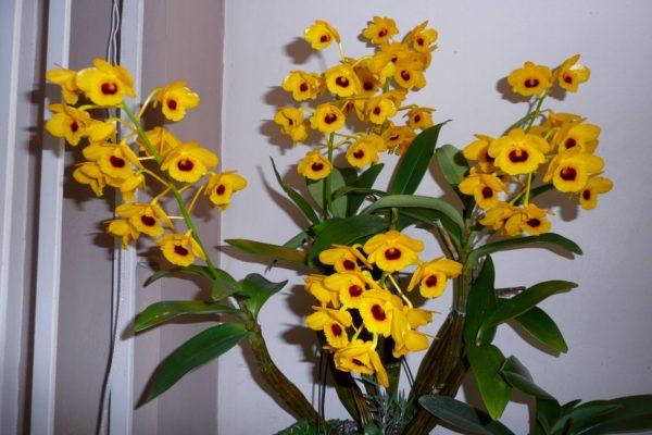 Dendrobiumy_5_11182730-600x400.jpg