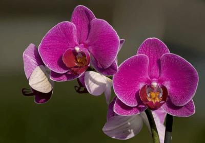 Фиолетовая архидея