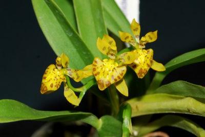Орхидея онцидиум твинкле