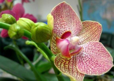 Почему орхидея не дает цветонос