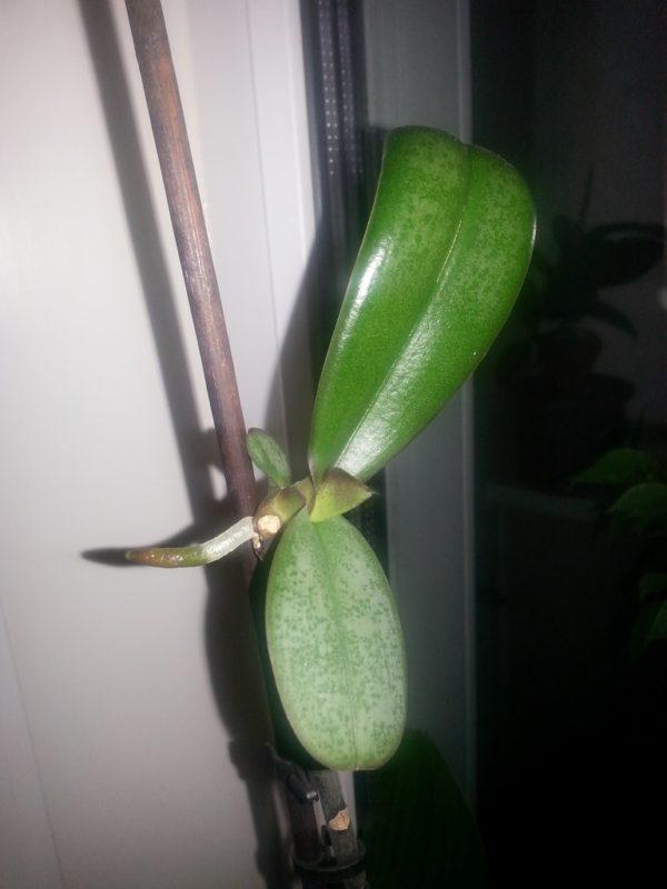 Как отсадить отросток орхидеи от стебля