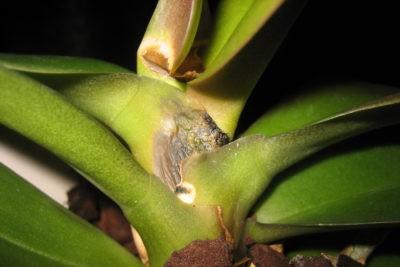 Гниет ствол орхидеи что делать