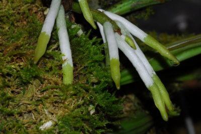 Корни орхидеи 18 фото какие они должны быть и можно ли их обрезать Как использовать Корневин для корневой системы Что делать если на корнях появилась плесень