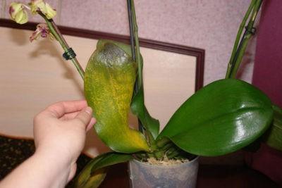 Можно ли обрезать листья у орхидеи