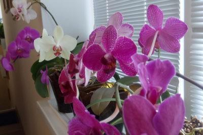Можно ли пересаживать орхидею во время цветения и как это правильно сделать