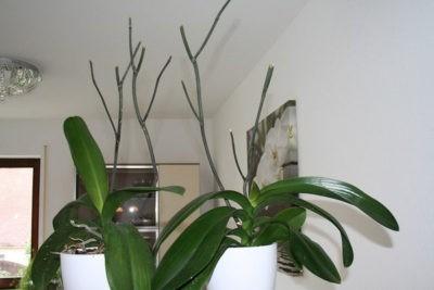 Орхидея выпустила стрелку но не цветет