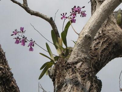 Родина растения орхидея страна и история происхождения комнатного цветка Где растет домашняя орхидея