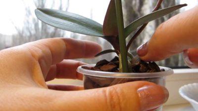 На отцветшем цветоносе орхидеи появился отросток