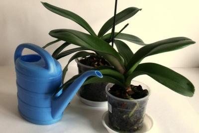 Орхидея вянет: листья и цветы, что делать