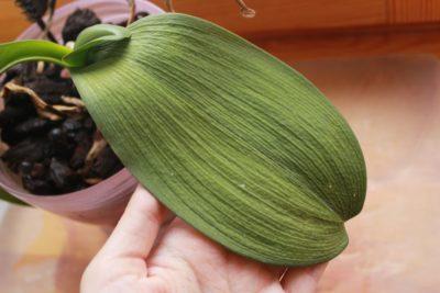 Почему у фаленопсиса краснеют листья