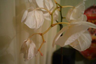 Вялые листья у орхидеи что делать. Как спасти листья орхидеи от увядания