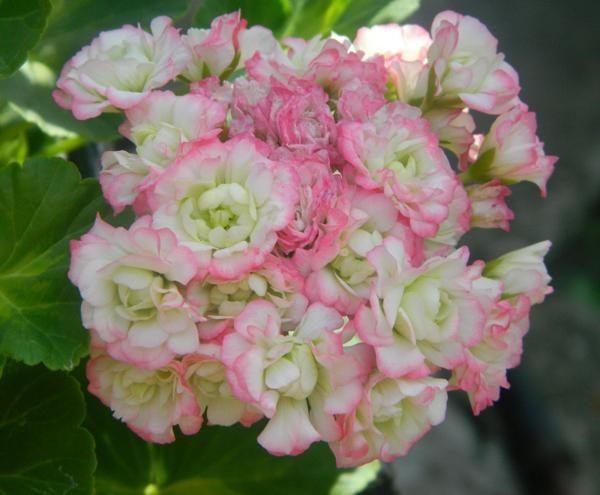 Розебудная пеларгония красная