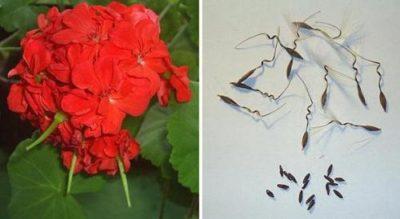 Пеларгония из семян условия для роста