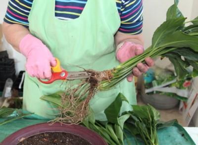 Пересадка спатифиллума в домашних условиях (после покупки, цветущего): оптимальное время, почва и ёмкость, дальнейший уход, фото, видео