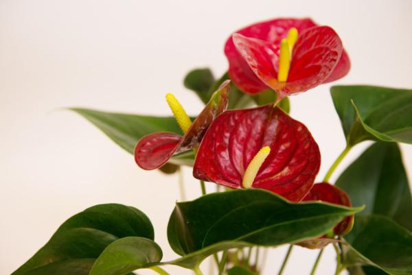 Спатифиллум красного цвета