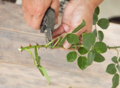 Как можно выращивать розы путем черенкования осенью?