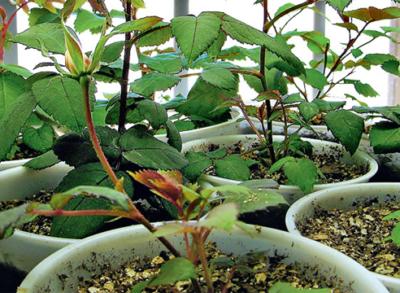 Как выращивают розы из семян в домашних условиях?